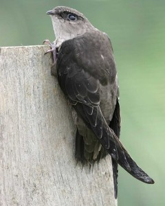 Chimney_Swift_a16-7-109_l_1