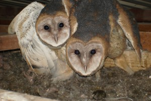 Frisco barn owls