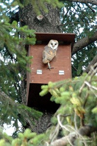 barn owl nest box photo by David Goodman