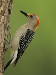 john-cornell-male-golden-fronted-woodpecker-melanerpes-aurifrons-texas-usa