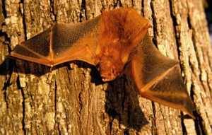 bat removal from attics & chimneys in DFW, Houston, Nashville