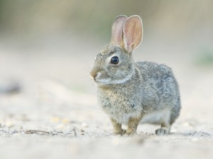 rob-tilley-desert-cottontail-rabbit-rio-grande-valley-texas-usa