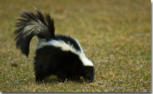 Skunk removal in Dallas, Fort Worth, Denton, Houston, Nashville